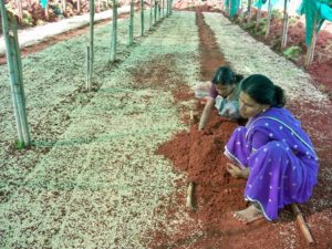 Wheat Grass Cultivation