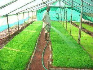 Harvesting of Wheatgrass
