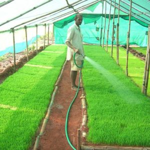 Harvesting of Wheatgrass